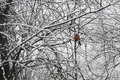 Cardinal in Snow Covered Trees Royalty Free Stock Photo