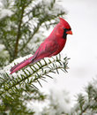 Cardinal on a Snowy Branch Royalty Free Stock Photos