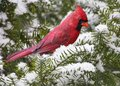 Cardinal on Snowy Branch Stock Images