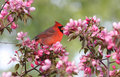 Cardinal in spring Stock Image