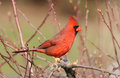Cardinal in spring Stock Photos