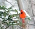 Kardinál v zimě