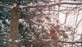 Cardinal Winter Pine Royalty Free Stock Photo