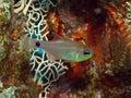 Cardinalfish Stock Photos