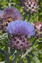 Cardoon Flower And Buds