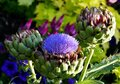 Cardoon Plant, Also Known As T...