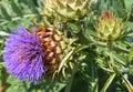 Cardoon Plant In Bloom Close U...