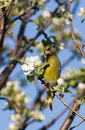 Carduelis chloris, Greenfinch Royalty Free Stock Photography