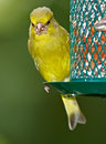 Carduelis chloris - Greenfinch Royalty Free Stock Photography