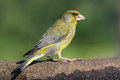 Carduelis chloris Royalty Free Stock Photo
