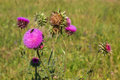 Carduus or plumeless thistles. Royalty Free Stock Photo