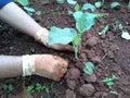 Care kai lan getable garden Royalty Free Stock Photography