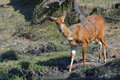 Careful bushbuck approaching waterhole in kruger national park south africa Royalty Free Stock Photography