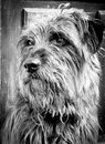 The caretaker close up portrait of a cute dog in black and white Royalty Free Stock Photos