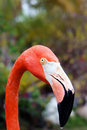 Caribbean flamingo portrait closeup of Royalty Free Stock Images