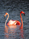 Caribbean Flamingos court on the Gotomeer, Bonaire, Dutch Antilles. Royalty Free Stock Photo