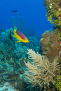 Caribbean reef fish Royalty Free Stock Photos