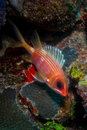Caribbean reef fish Stock Photography