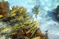 Caribbean reef Grunt fish school Mayan Riviera Royalty Free Stock Photo