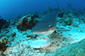 Caribbean reef shark Stock Photography