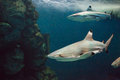 Caribbean reef shark with fishing Royalty Free Stock Photo