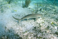 Caribbean reef shark in its natural habitat an underwater seascape Stock Image