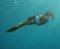 Caribbean reef squid a in blue water Stock Photos