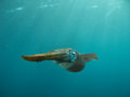 Caribbean reef squid a in blue water Stock Image