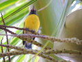 Caribbean songbird perching on palm tree yellow branches Stock Photos