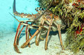 Caribbean spiny lobster close up of a panulirus argus on sand bottom looking out from its cavern cozumel mexico Royalty Free Stock Photo