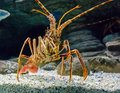The Caribbean Spiny lobster Royalty Free Stock Photo