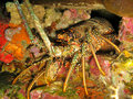 Caribbean Spiny Lobster Panulirus argus in den Stock Photos