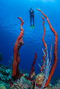 Caribbean sponges and scuba diver a hovers above a reef where tall grow near the island of grand cayman the cayman islands are a Royalty Free Stock Photos