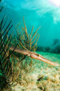Caribbean trumpetfish the an odd shaped fish from the reefs of the sea Royalty Free Stock Photo