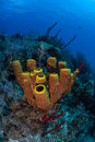 Caribbean tube sponges grow on a coral reef near the island of grand cayman the cayman islands are a popular destination for Stock Photos