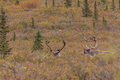 Caribou Bulls in Velvet Royalty Free Stock Photo