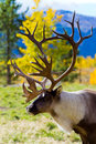 Caribou (Reindeer) in the Yukon Territories, Canada Royalty Free Stock Photo
