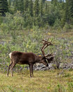 Caribou a wanders in denali national park Royalty Free Stock Photo