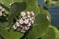 The Caribs. Tropical flowers. Hoya. Royalty Free Stock Photo