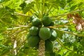 Carica papaya pawpaw fruit tree Royalty Free Stock Photography