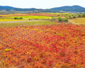 Carinena and Paniza vineyards in autumn red Zaragoza Spain Royalty Free Stock Photo