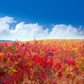 Carinena and Paniza vineyards in autumn red Zaragoza Spain Stock Images
