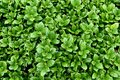 Carissa Holly Bush, Evergreen, Compact plant, 24 inches