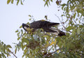 Carnaby s black cockatoo in pecan nut tree in autumn the large native to western australia eating nuts a is Royalty Free Stock Image