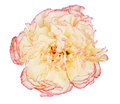 Carnation Royalty Free Stock Photos