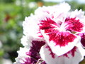 Carnation contrast of colors on a crimson Royalty Free Stock Photography