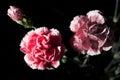 Carnation Flowers