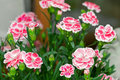 Carnation flowers in pink with white border (Dianthus caryophyll Royalty Free Stock Photo