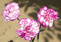 Carnation pink and white colours three big carnations of double Royalty Free Stock Images