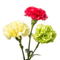Carnation red yellow and green on white background Stock Image